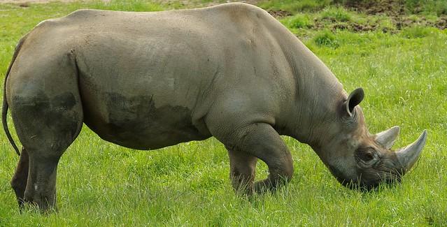 Black Rhino  (16)