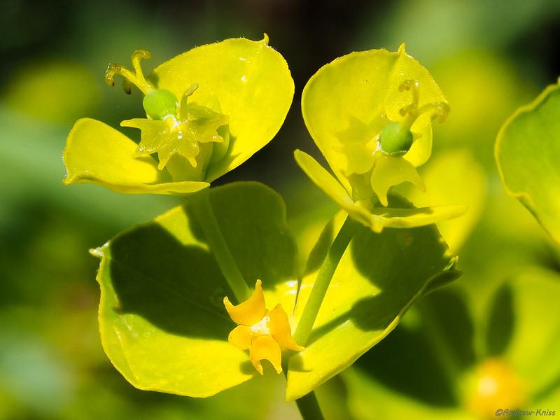 Leafy spurge (Euphorbia esula)