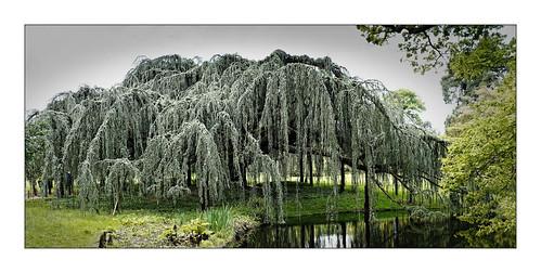 cèdre arbre arboretum parc nature paysage landscape tree