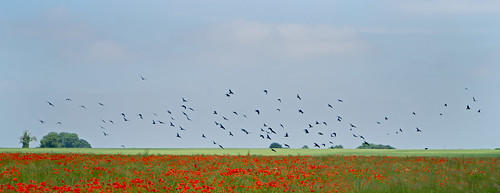 Poppies and Rooks