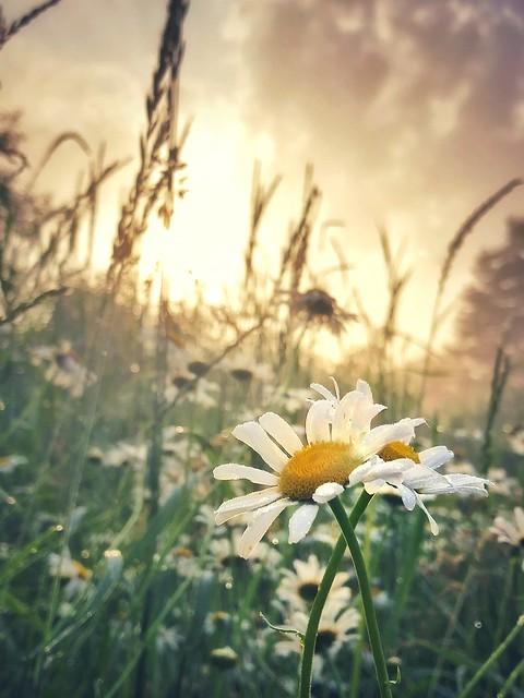 Morning Daisies