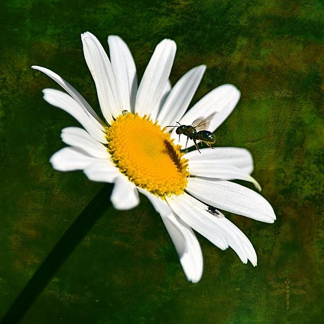 Oxeye daisy (Leucanthemum vulgare) . . .