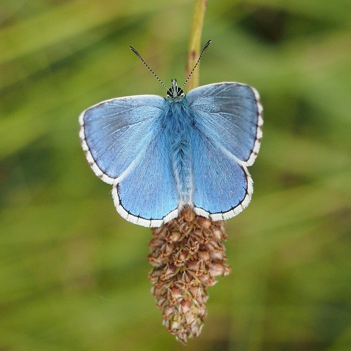 Adonis Blue  at Cantegrive near Saint-Avit-Senieur, Perigord | by transiently permanent