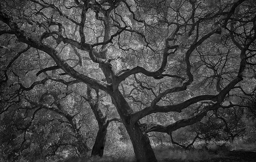 nlwirth yup oak tree infrared ir blackandwhite sonomacounty helenputnamregionalpark california trunks trunk landscape