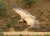 Eurasian Griffon, Griffon Vulture (Gyps fulvus) by Francisco Piedrahita
