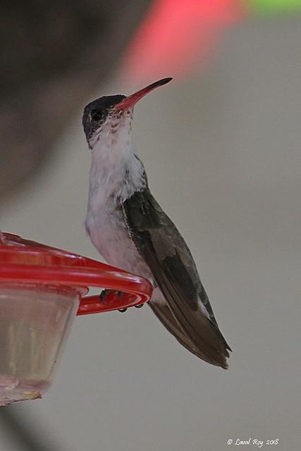 1.07920 Ariane à couronne violette / Amazilia violiceps ellioti / Violet-crowned Hummingbird
