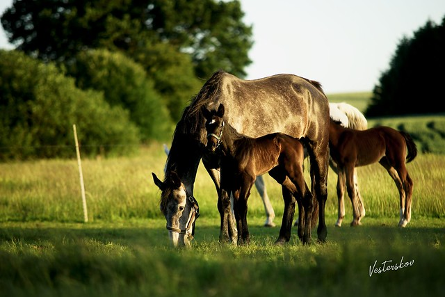Lykkesborgs Roberta Warmblood foal