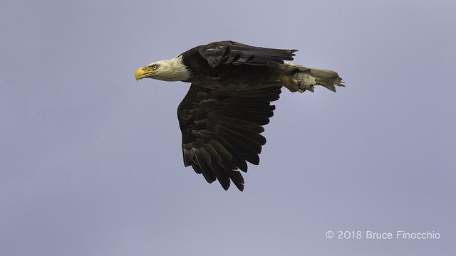 Female Bald Eagle With Wings In Glide Position As She Brings Fish To Nest