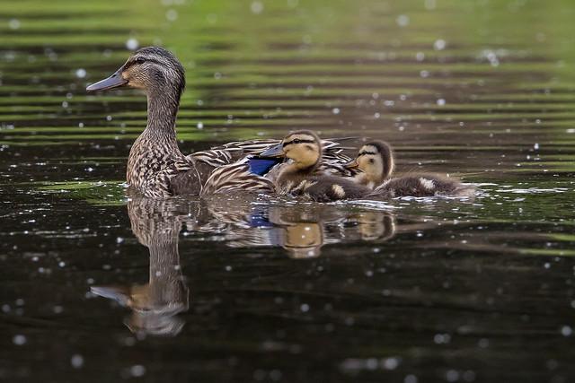 Mallard Hen and Ducklings-4