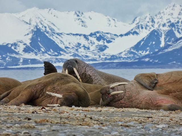 Morsas en Svalbard (Crucero polar)