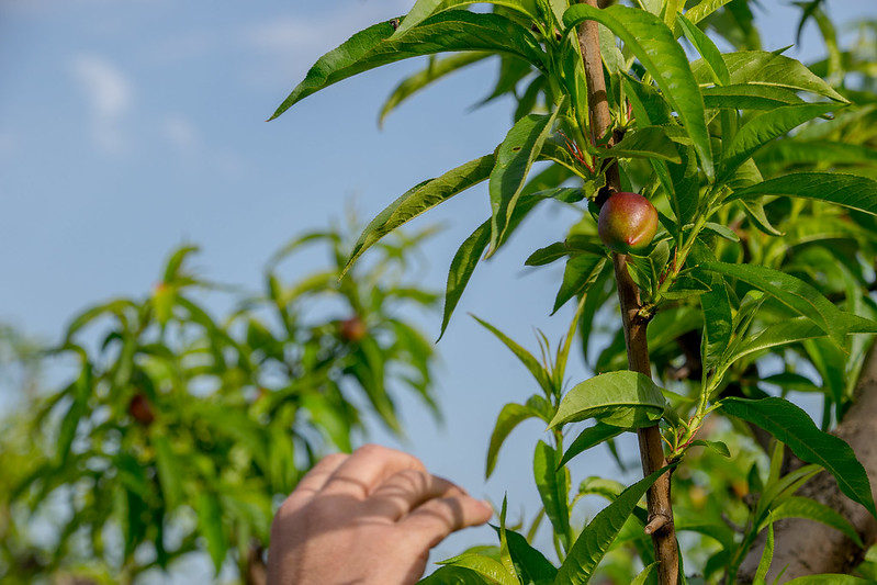 Nectarina (Prunus persica). Brenes (Sevilla)
