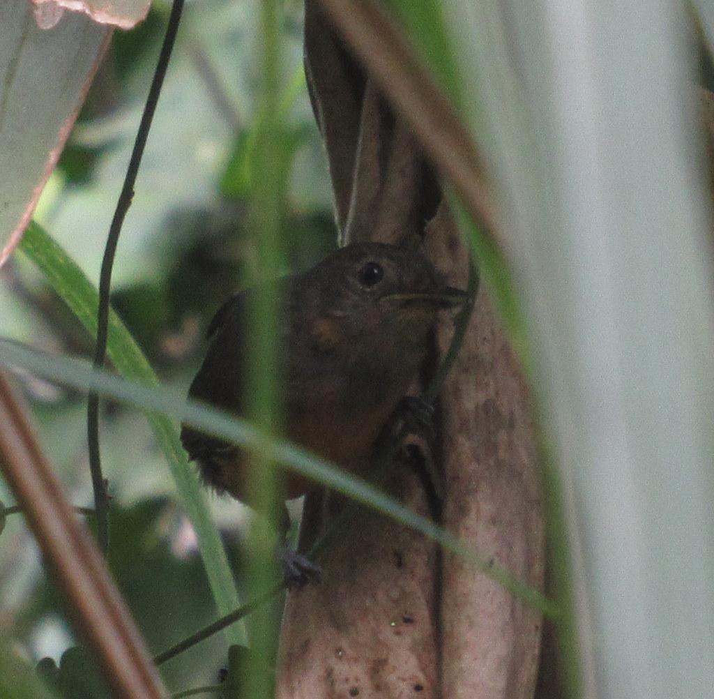 Ochre-bellied Flycatcher; 20180414; PA-Colón-Gamboa