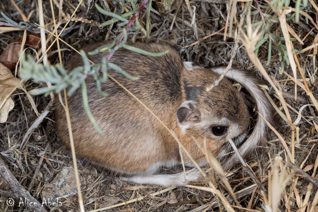 Kangaroo Rat Dipodomys Sp Churchill County Nevada Flickr