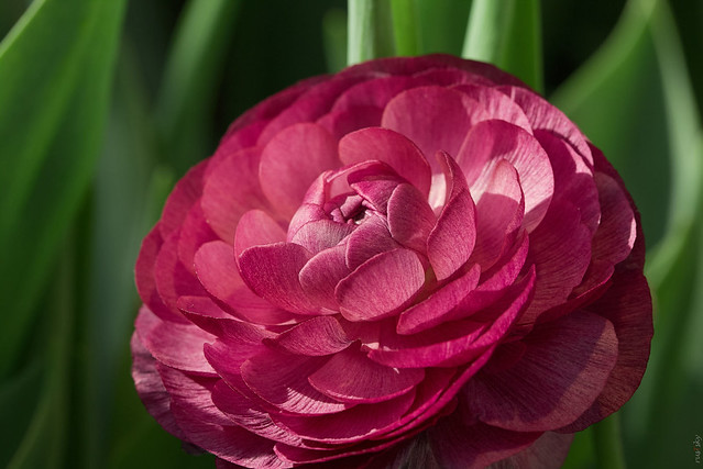 RUS66730(Beauty of Flowers #8. Ranunculus)