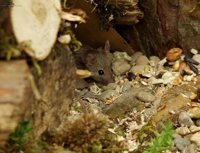 garden mouse (3)