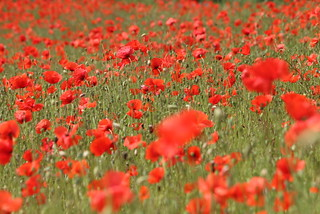 poppies | by OliBac