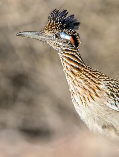 america canon nature lasvegas wildlife wild western southwest desert clarkcounty flickr vegas bird henderson nevada