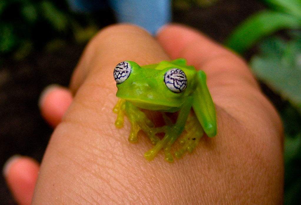 Ghost Glass Frog [Centrolene Ilex]