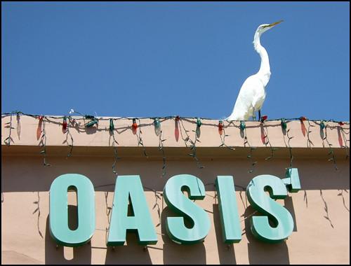 Egret at Oasis