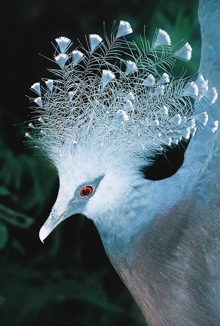 Victoria Crowned Pigeon at Bristol Zoo