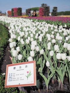 White tulip flowers at Zhong She Toursight Flower Market 中社观光花市 | by huislaw