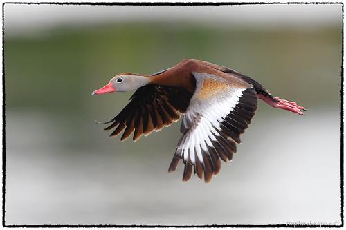 apollobeach raphaelkopanphotography d500 nikkor600f4evr 14xtciii handheld nikon wildinurbansetting wildlife