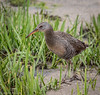 Clapper Rail (Rallus crepitans) - Oceanville, New Jersey by JFPescatore