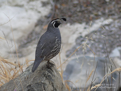 california quail male silverado communitycenter ca usa bird groundrock brown black gray blogger callipeplacalifornica