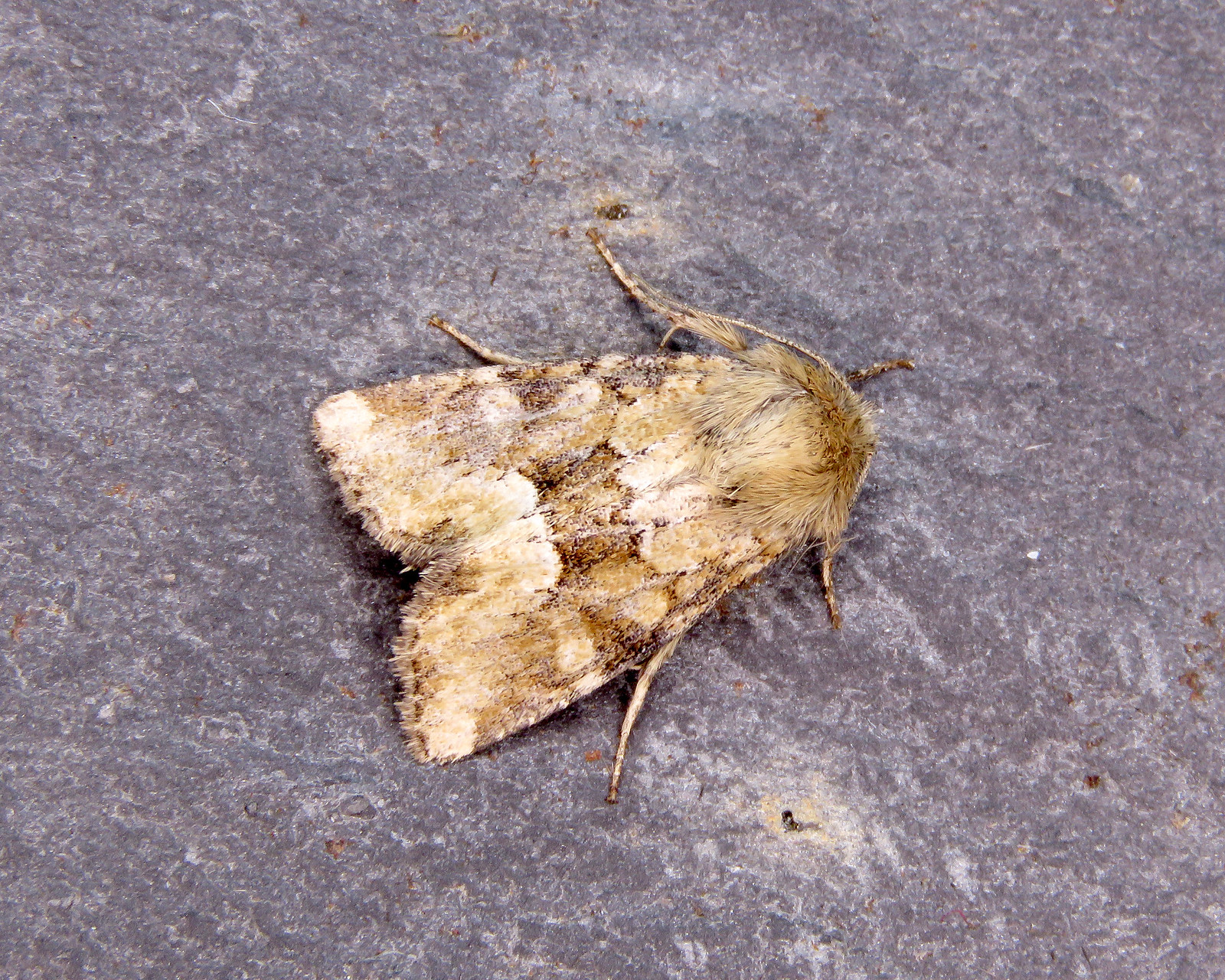 73.176Middle-barred Minor - Oligia fasciuncula