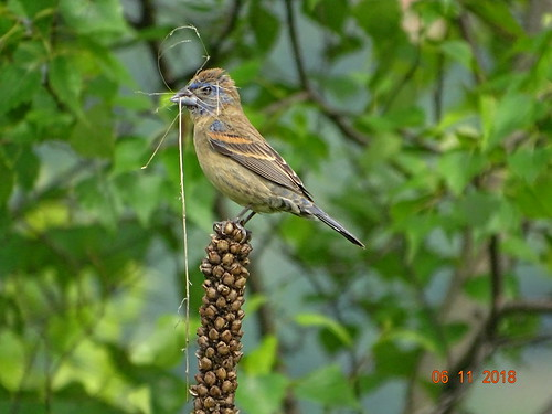 bluegrosbeak lehighgapnaturecenter carboncounty pa sonyhx400v
