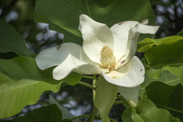 Magnolia macrophylla, McCreary County, Kentucky