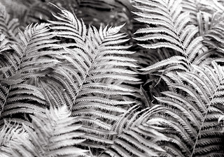 Patch of Ferns | by Bill Smith1