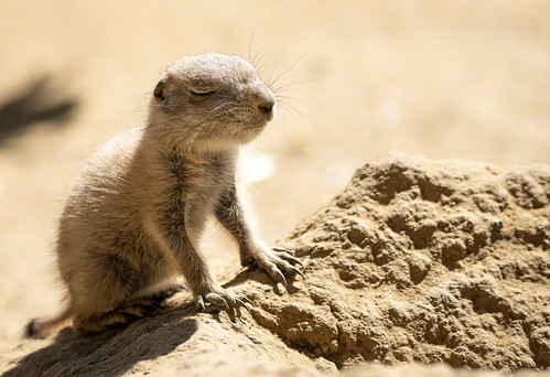 Juvenile Black-tailed Prairie Dog (Cynomys ludovicianus) falling asleep in the sun | by Wade Tregaskis