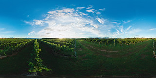 Omaka Vineyard - Morning | by Saint Clair Family Estate