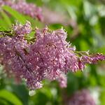 'James MacFarland' lilac