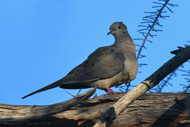 MOURNING DOVE 13