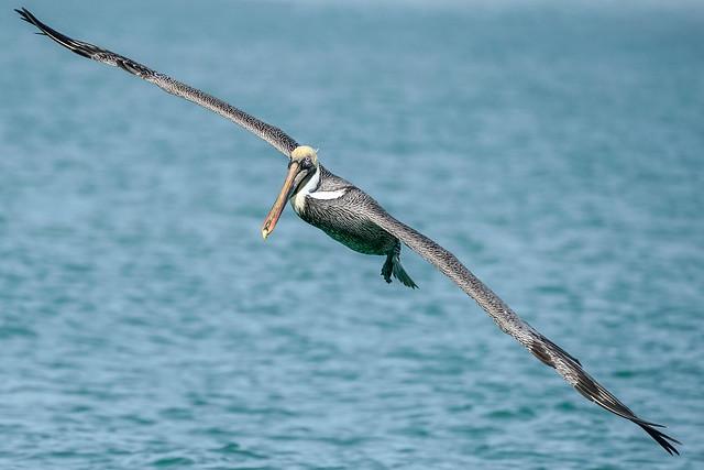 Brown Pelican - Flight