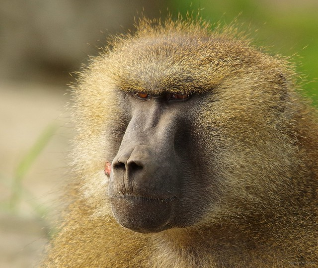Baboon (13)