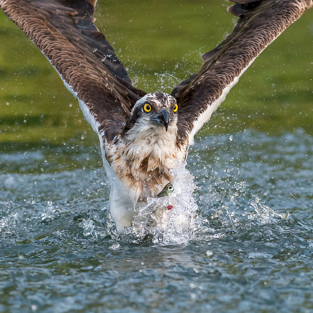 Awesome Osprey