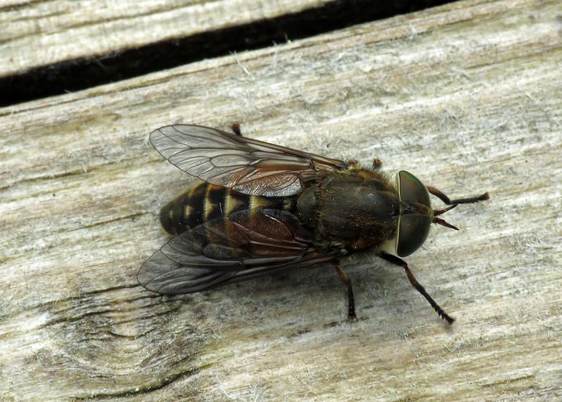 Hybomitra distinguenda