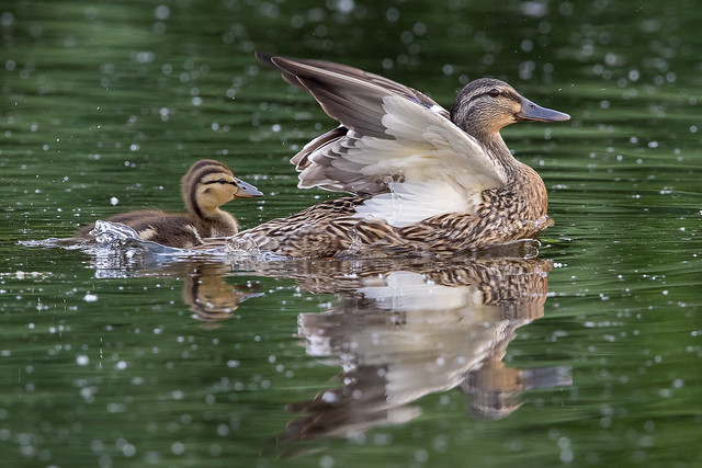 Mallard Hen and Ducklings-3