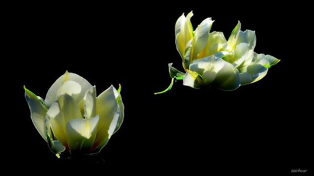 when tulips dream