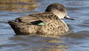 Grey Teal Anas gibberifrons by Neil Cheshire