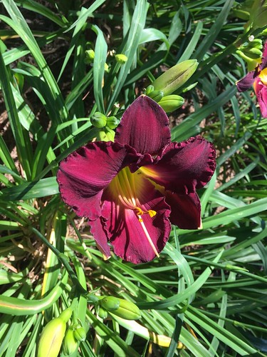 Day lilies | by colorpoetry