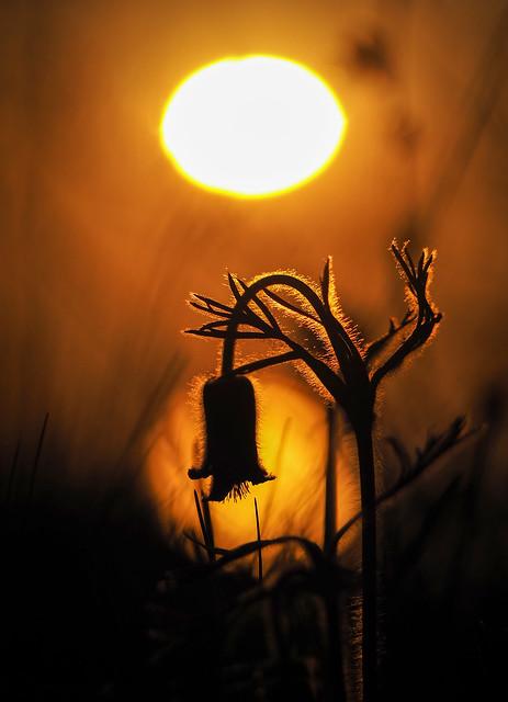 Pulsatilla pratensis at sunset