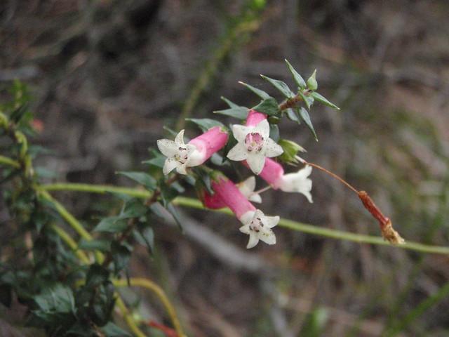 Epacris longiflora (Fuschia heath)