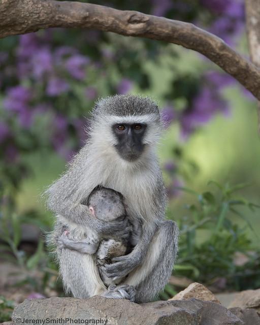 Vervet Monkey, Cercopithecus eathiops, Turk Mine, Zimbabwe