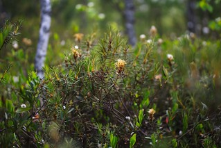 Rhododendron tomentosum at Sima bog | by Horinf