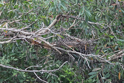 Yellow-crowned Night-Heron nest used 20180601