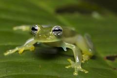 Cute Eyes Glass Frog-Espadarana callistoma (3)
